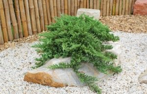 bonsai tree in zen garden