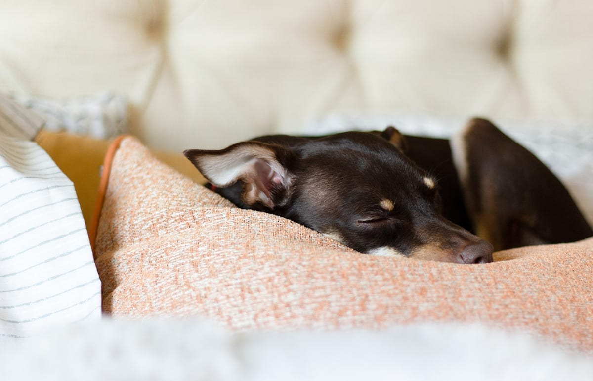 small black and brown terrier dog sleeping on pink couch pillow